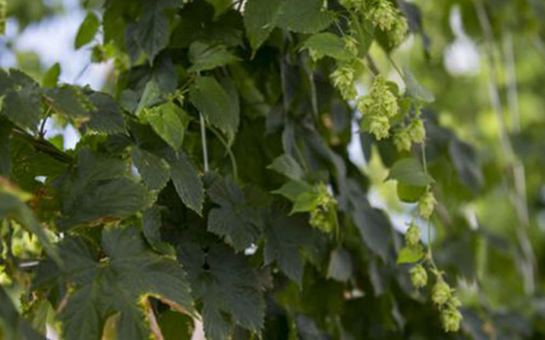 This Beer Lover is Growing Hydroponic Hops for Year-Round Wet Hop Beers