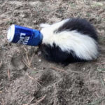Drunk as a Skunk: Animal Control Rescues Critter Stuck in Bud Light Can