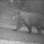Caught on Camera: Bear Steals Pinot Noir Grapes from California Winery