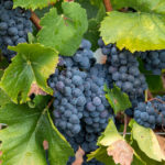 The Versatile Varietal Wine Perfect for Pinot Noir Fans and Champagne Geeks